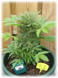 https://www.dutch-headshop.fr/images/tiny_mce_images/images/cannabis-plant-outside.jpg