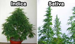Blog - Top 5 graines de cannabis pour culture intérieure | Dutch ...