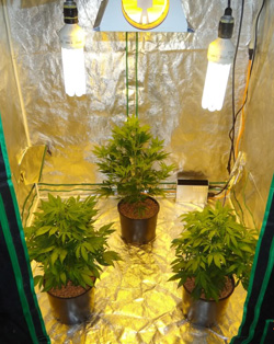 Blog top 5 graines de cannabis pour culture int rieure for Autofloraison interieur