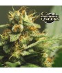 L.A. Amnesia (Paradise Seeds) 3 graines