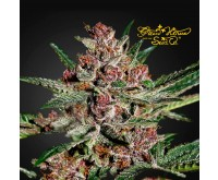Bubba Kush (Greenhouse Seeds) 3 graines