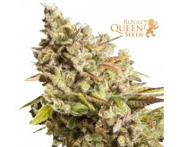Royal Gorilla (Royal Queen Seeds) 3 graines