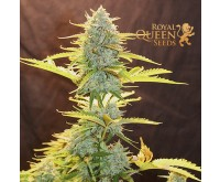 Fat Banana Autofloraison (Royal Queen Seeds) 3 graines