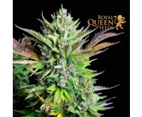 Green Gelato Automatic (Royal Queen Seeds) 3 graines