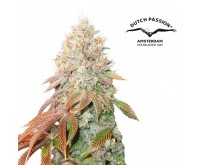 Auto Banana Blaze (Dutch Passion) 3 graines