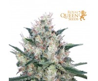 Honey Cream Fast Flowering (Royal Queen Seeds) 3 graines