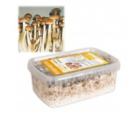 Kit de Culture de Champignons Magiques Golden Teacher (Ready-to-Grow Growkit)
