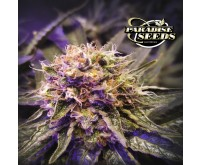 Blue Kush Berry (Paradise Seeds) 3 graines