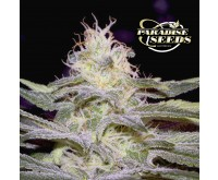 Sensi Star (Paradise Seeds) 3 graines