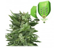Royal Kush Automatic (Royal Queen Seeds) 5 graines