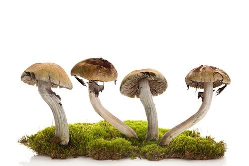 champignons hallucinogènes sur de la mousse