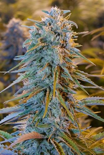 Deze klapper van een bloemtop is van de populaire Amerikaanse wietsoort Blue Dream.