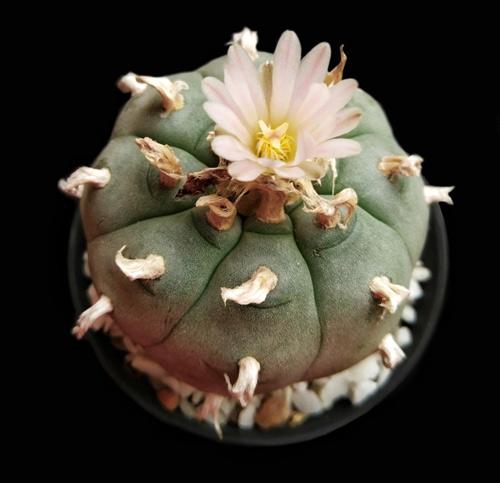 Cactus Peyotl