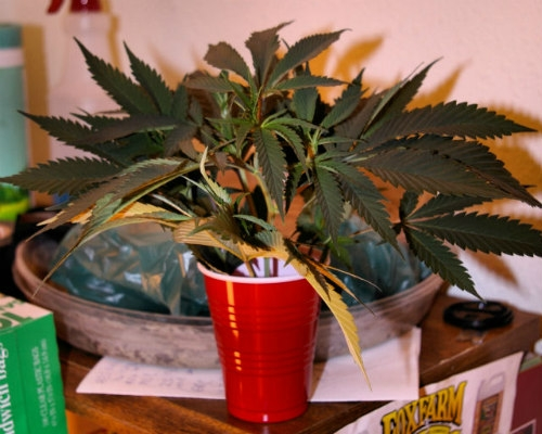 bouturecannabis